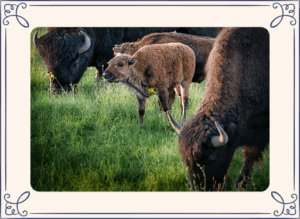 Baby bison in field with adult bisons